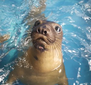 Elephant Seal After Rehab by Jeff Hall