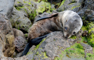 Fur Seal Pup by Lorraine Barbosa