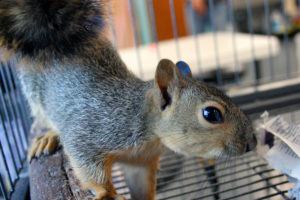 Eastern fox squirrels are one of the most common species of animals admitted to California Wildlife Center. CWC's Baby Care Unit also cares for large numbers of orphaned song-birds, opossums, hummingbirds, and crows.