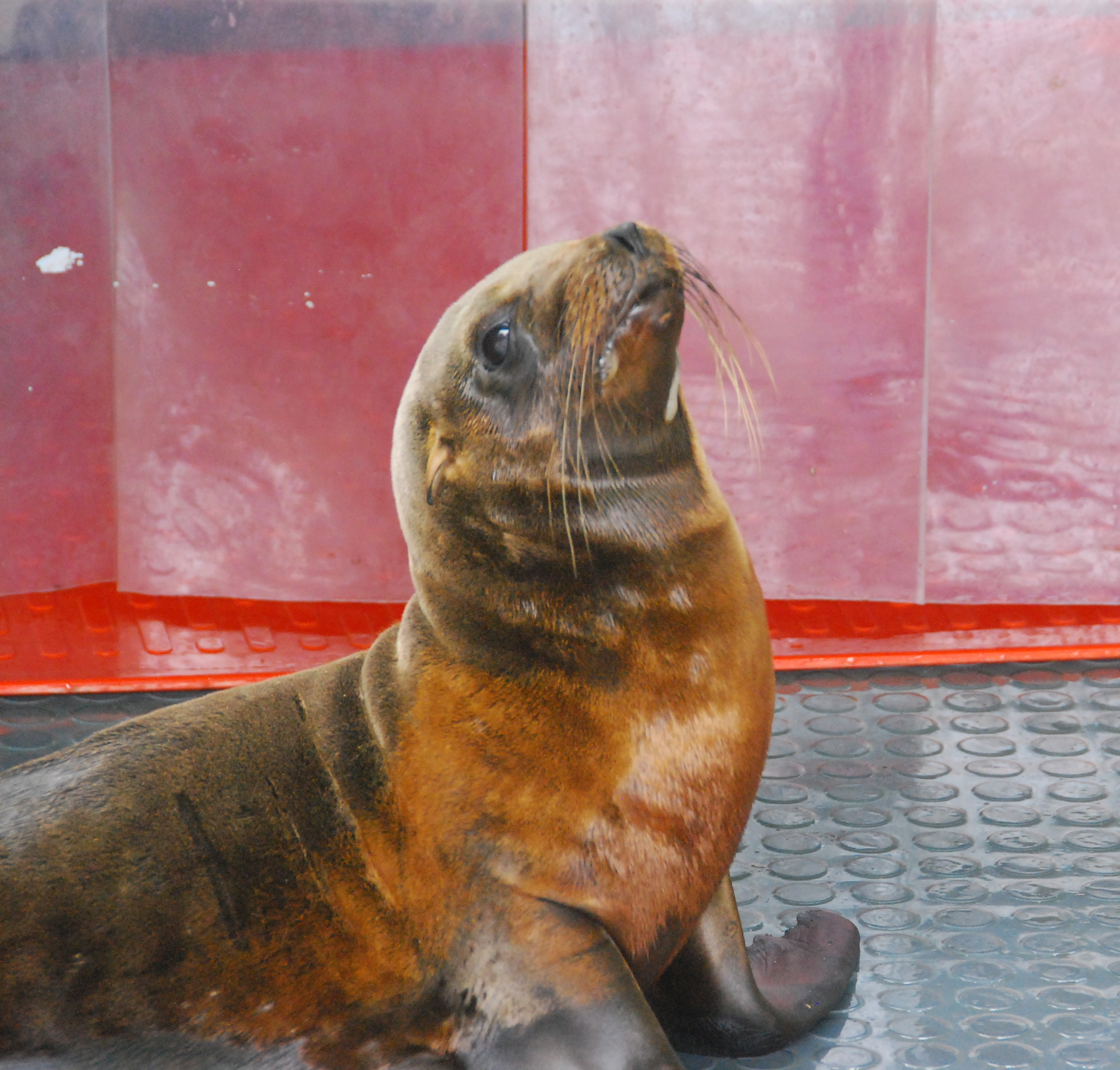 Sea Lion 17-1 in care