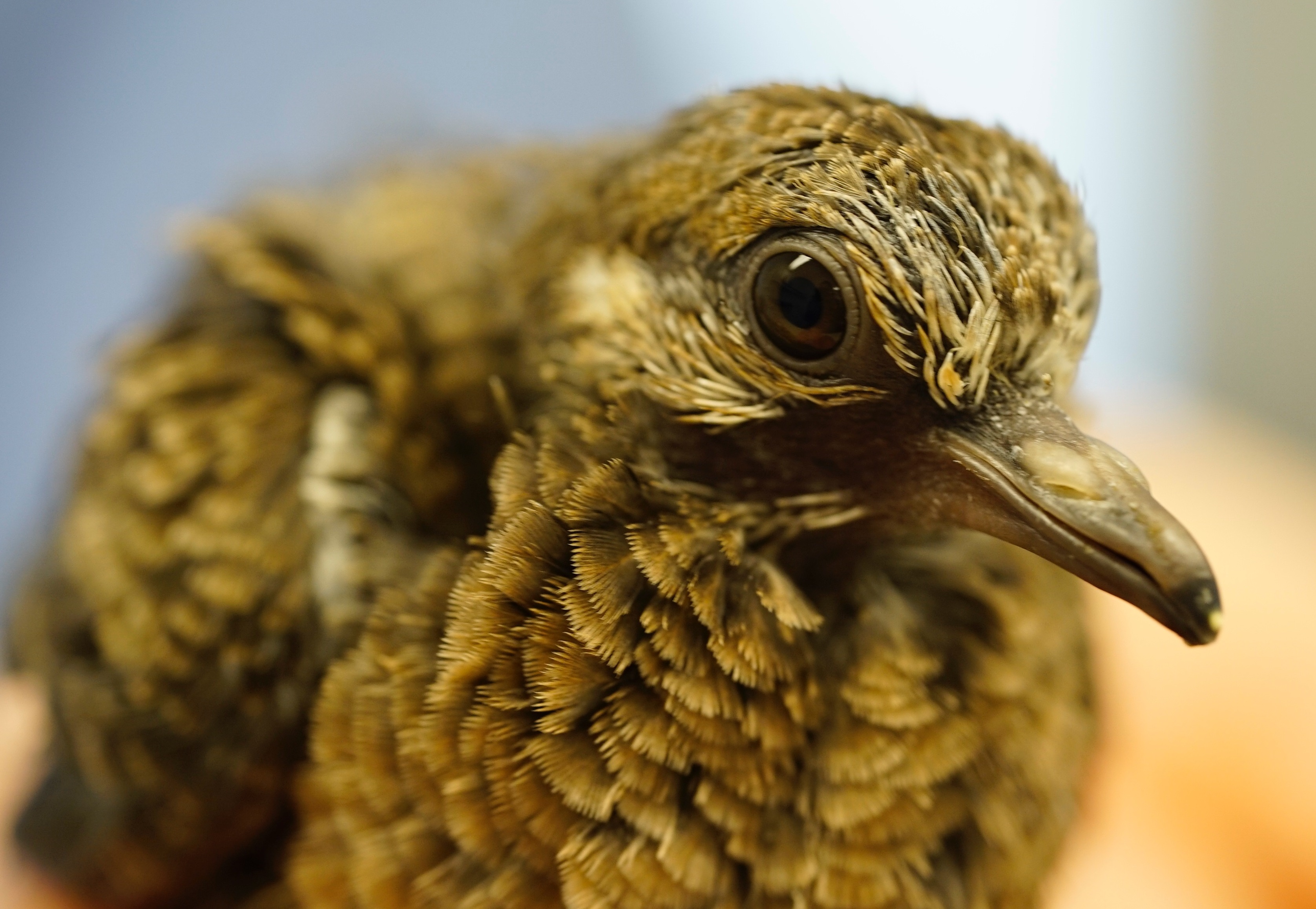 Everything You Ever Wanted To Know About Mourning Doves But Maybe